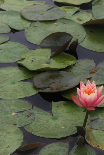 lotus 2891216_640