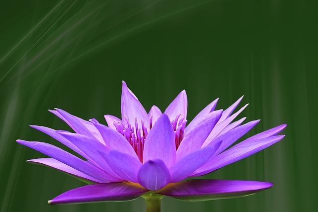pond lily 1966875_640